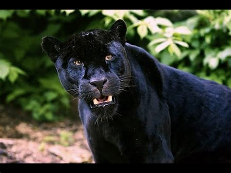 Rainforest Animals Black Panther