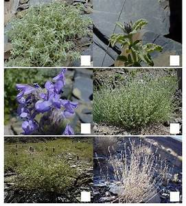 Phenological Stages Of Nepeta Binaludensis In Natural Habitat  A