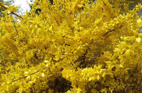 Sträucher Die Im Sommer Blühen by Forsythie