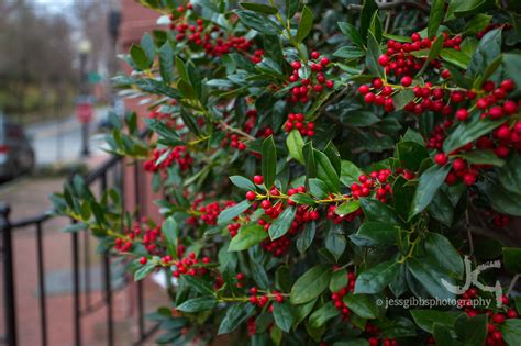 green bush with berries christmassy looking bush with red berries and green leaves growing in front yard jess gibbs
