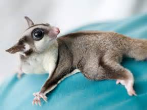 Pet Sugar Gliders Animal