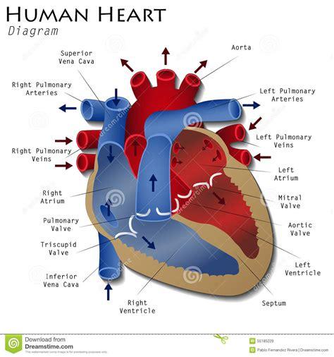 human heart diagram stock illustration illustration