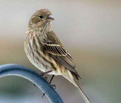 house finch identification all about birds cornell lab