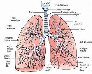 2  Lower Respiratory Tract  Breathing And Swallowing Processes Are
