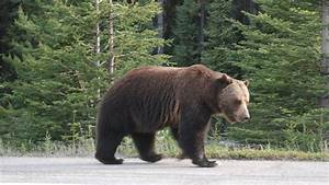 The Legacy of Big Boy the Grizzly Bear | Blog | Nature | PBS  Grizzly