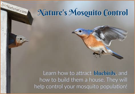 how to attract bluebirds because they eat mosquitoes and