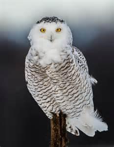 Awesome Snowy Owl