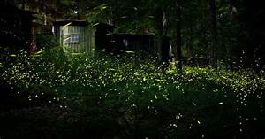 Great Smoky Mountains Annual Synchronous Fireflies Viewing Announced