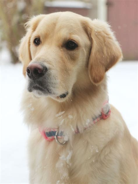Yellow Lab Puppy  Top 25 Best Golden Labrador Ideas On