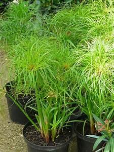 Plante Pour Bassin Extérieur : plante papyrus exterieur excellent papyrus plante with ~ Premium-room.com Idées de Décoration