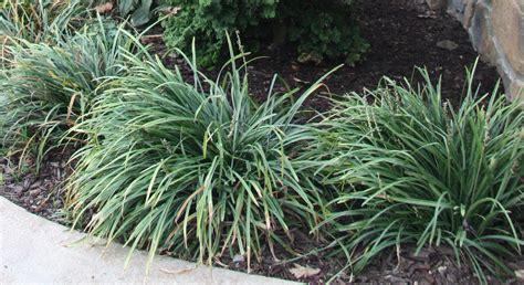 small ornamental grasses top 28 small ornamental grasses redwood barn nursery ornamental grasses dwarf hamelin
