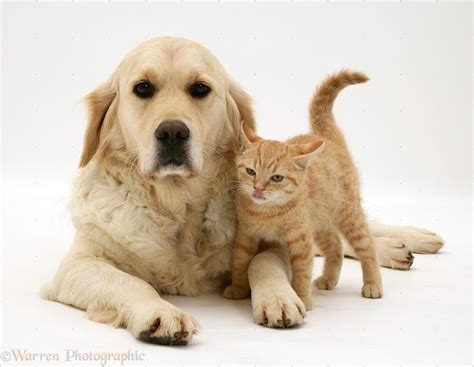 Pets Golden Retriever And Ginger Kitten Photo Wp22076