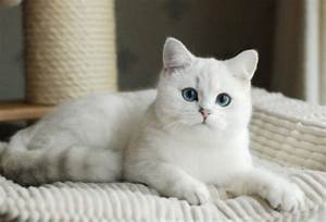 Tica Silver British Shorthair Blue Eyed Kittens In Alabama ...