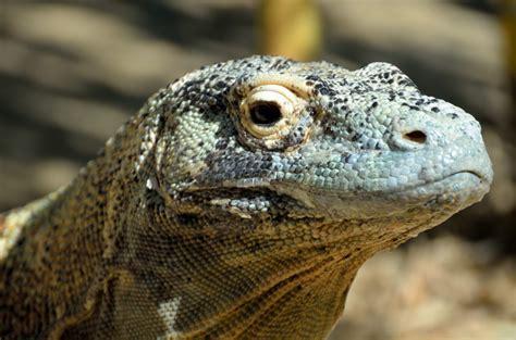 komodo dragon  stock photo public domain pictures