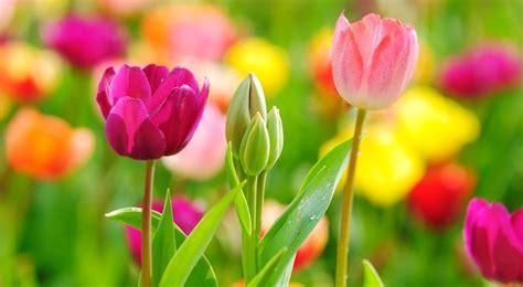 cuisine soldes tulipe semis entretien culture et arrosage