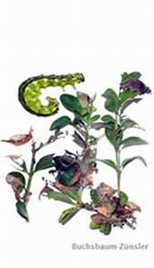 Raupen Buchsbaumzünsler Bekämpfung : buchsbaumz nsler bek mpfen das hilft den pflanzen weiter ~ Watch28wear.com Haus und Dekorationen