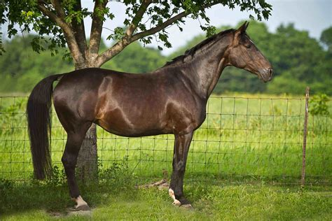 horse breeds expensive most warmblood dutch breed horses gray solid