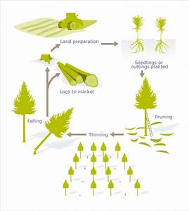 Life Cycle Of A Managed Radiata Pine  U2013 Radiata Pine  U2013 Te