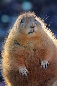 Animals That Look Like Prairie Dogs