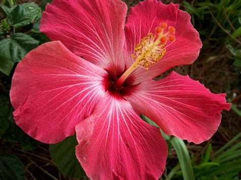 Hibiscus Flower Backgrounds by Hibiscus Flower Wallpapers Wallpaper Cave