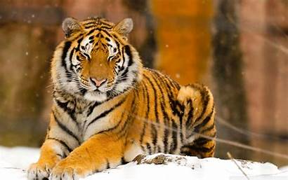 Tiger Siberian Wallpapers Wide