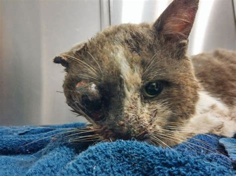 cat dies  week   rescued  brutal attack