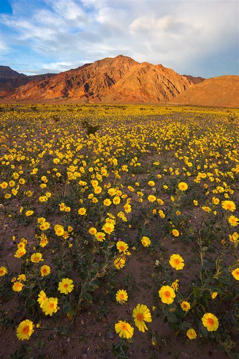 death valley wildflower update prelude   super bloom