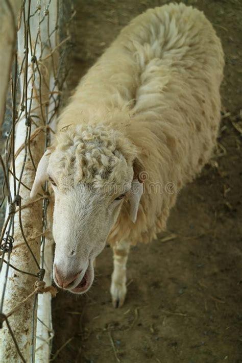 ruminants herkauwers legged mammals four sheep animals arthe mammiferi area most schapen zijn wild vier waren meeste gebieds zoogdieren dieren