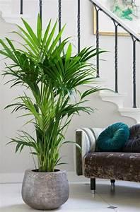 Pflegeleichte Pflanzen Für Die Wohnung : kentia palme kentia palme wohnzimmer und zimmerpflanzen ~ Michelbontemps.com Haus und Dekorationen