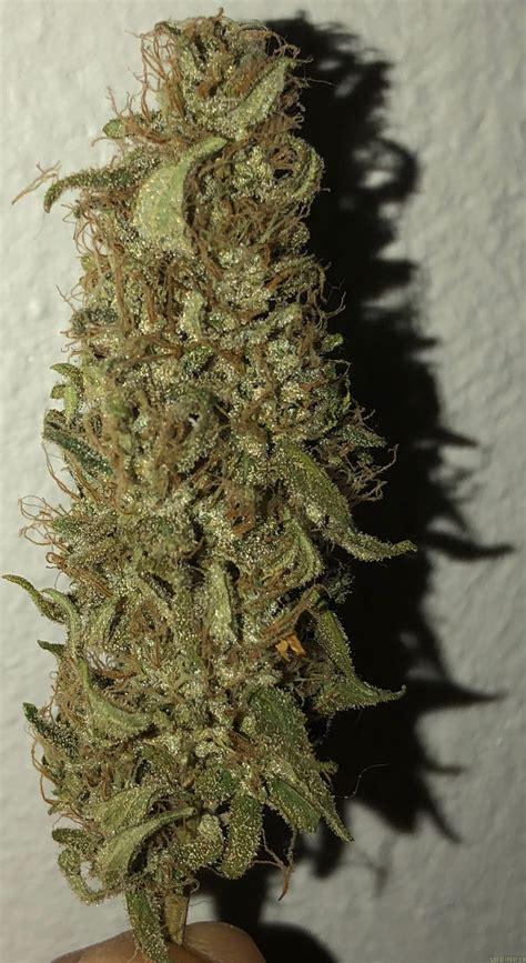 blue gelato  barneys farm cannabis strain info