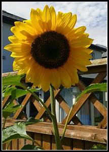 Sunflower Height Pictures