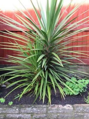 cordyline aussie outdoor palm   plants