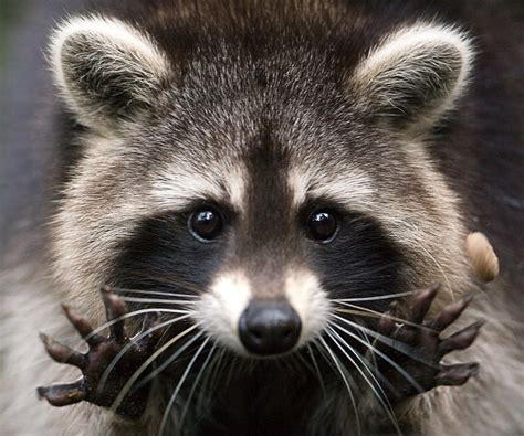 raccoons as pets how to get a pet raccoon and arctic wolf on aj patched youtube