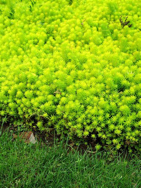 sedum ground cover creeping sedum angelina garden housecalls