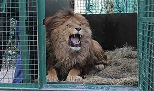 Borne Free Lyon : vic reeves helps lions on their journey to the wild with born free world news ~ Medecine-chirurgie-esthetiques.com Avis de Voitures