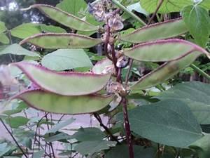 The Miracle of Hyacint Beans (Bataw)