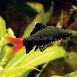 17 Best images about Freshwater Aquarium Fish Non