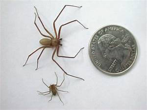 Brown Recluse First Aid Kit - Spider Information