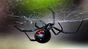 What It Feels Like to Be Bitten By a Black Widow Spider ...