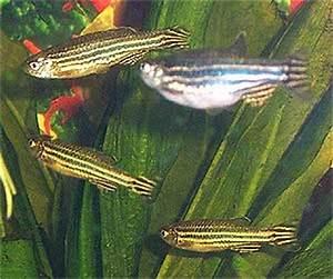ing Zebra Danios FishForums