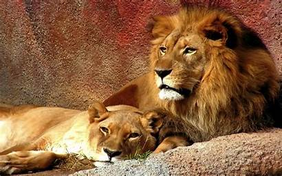 Lion Animal Windows Wallpapers Lioness Backgrounds Cool