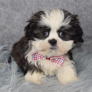 shih tzu puppies  sale  pa shih tzu puppy adoptions