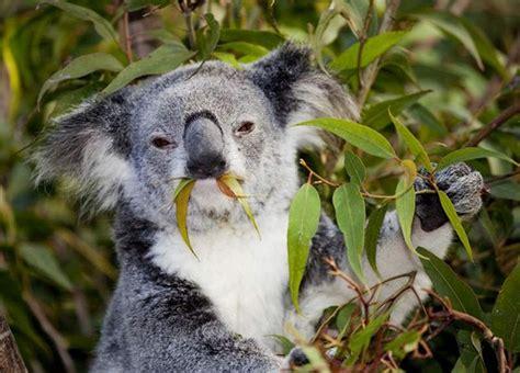 si鑒e habitat nudíte se chyťte si medvídka koalu láká brity austrálie idnes cz