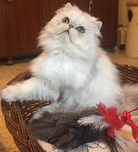 gatto persiano bianco regalo