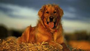 Golden Red River : golden retriever petimals ~ Orissabook.com Haus und Dekorationen