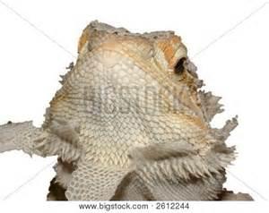 shedding bearded dragon stock photo stock images bigstock