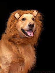 Golden Retriever Lion