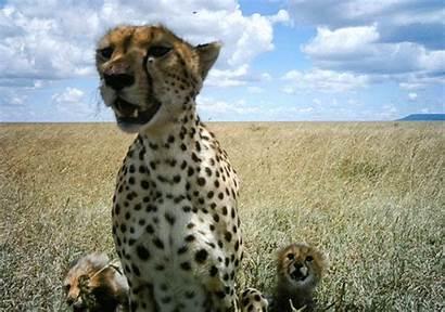Animals Gifs Animated Amazing Animal Cheetah Intimate
