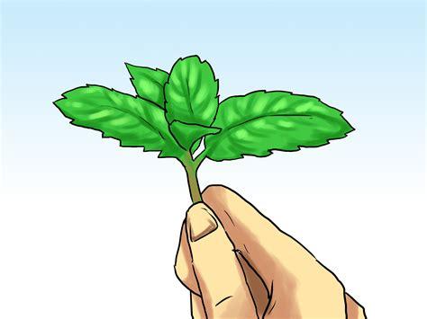 Cultiver Menthe En Pot by Comment Cultiver La Menthe Dans Un Pot 24 233