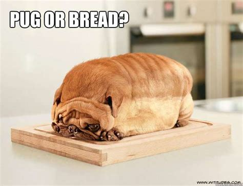 Sad Pug Meme - 10 pug meme that will make you rofl